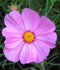 Cosmos 'Sonata Knee High'