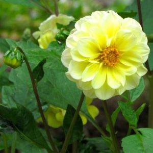 The single-flowered yellow dahlia