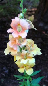 In bright sun, these snapdragons faded into the background.