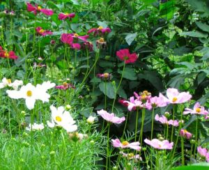 Cosmos Sonata Knee High mix