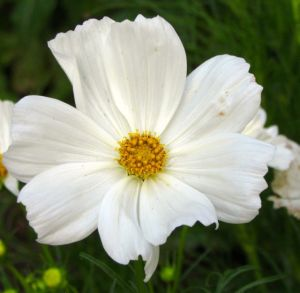 Cosmos Sonata Knee High, white version