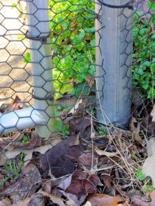 Close-up of base of vegetable garden gate. Note how the wire extends past the metal poles to touch the ground and also across the gap between poles, thereby deterring hungry rabbits.