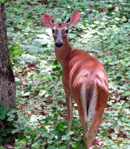 Leila's buck