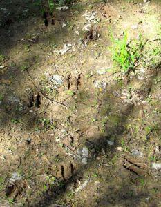Note the raccoon tracks interspersed with the deer prints.