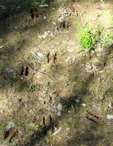Note the raccoon tracks interspersed with the deer prints.