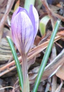 A crocus closing for its nightly slumber.