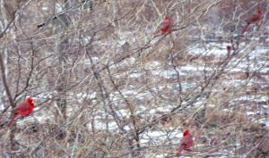 It's not unusual during snow events to see a dozen cardinals loitering in this shrub near the feeders, waiting their turns.