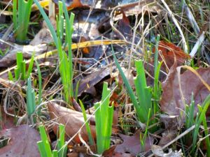 The new growth on my Louisiana irises are beating Winter but losing to hungry deer.