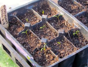 Dill seedlings.