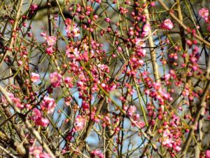 Prunus mume 'Peggy Clarke' (Junior) is also perfuming the air.