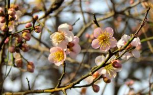 My pink-flowering Prunus mume