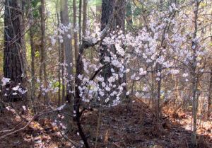 Pink-flowering ornamental apricot near maximum bloom.