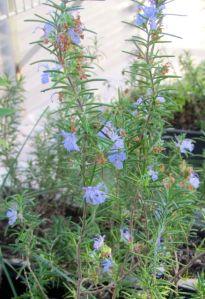 Rooted rosemary cuttings in my greenhouse are blooming happily.