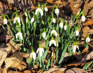 The snowdrops will probably survive, unless ice piles on top of them.