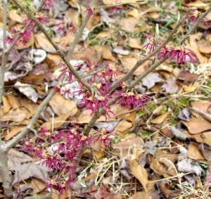 Witch hazel 'Amethyst'