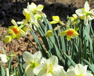 floodplain daffodils close