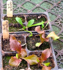 This is the size they all were before transplanting. I ran out of bed before I ran out of greens, so these still linger in the greenhouse.