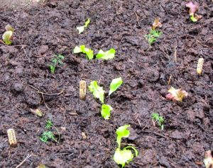 A close-up of just-transplanted greens.