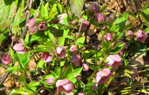 Hellebores abound!