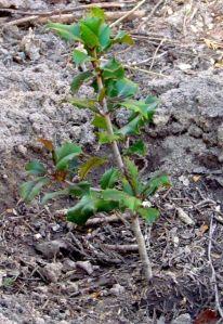 A newly planted Ilex opaca 'Dan Fenton'