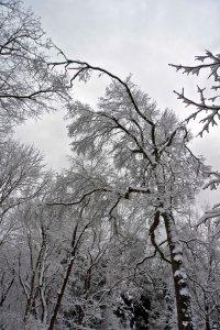 Ice Storm trees