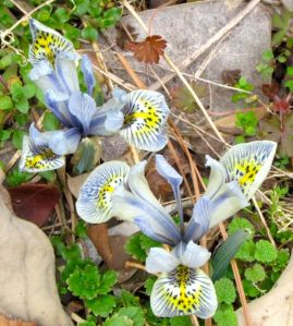 Dwarf crested iris showed up with the early crocuses.