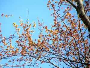Red Maple flowers high in a canopy tree