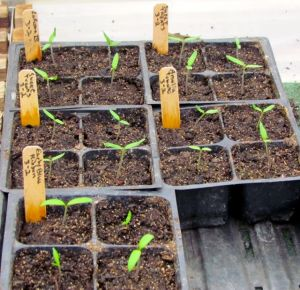 Tomato seedlings in my greenhouse.