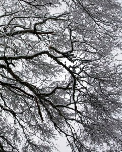 Willow Oak in snow