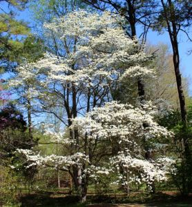 Native Flowering Dogwood (Cornus florida)