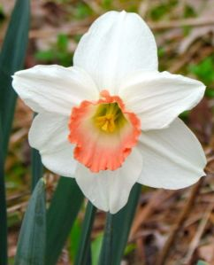 The daffodils with pinkish trumpets were still gorgeous on April 3.