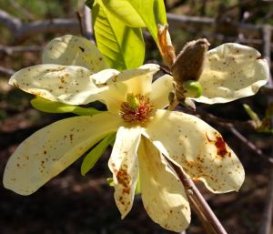 Damaged Magnolia 'Elizabeth' blossom and bud