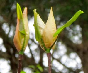 Frasier magnolia flower buds