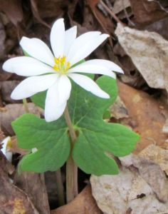 A lingering Bloodroot blossom