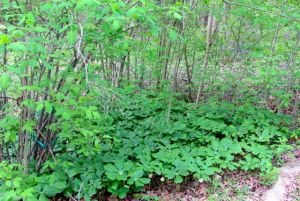 The Mayapple mob is abloom while the Bladdernuts above drop spent flowers on their lobed leaves.