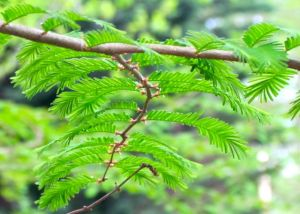 New leaves of the deciduous Dawn Redwood