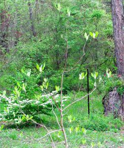 Ashe magnolia in foreground; Viburnum 'Shasta' in back