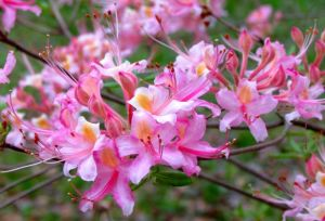 A close-up of the same azalea's flowers