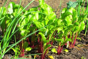 Red Ace beets look to be especially productive this year.