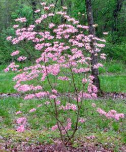 A hybrid of native deciduous azaleas