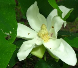 This Ashe Magnolia flower nearly rests on the ground.