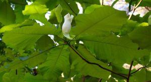 Bigleaf Magnolia bud