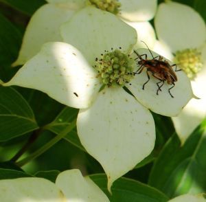 Fireflies mating on a kousa dogwood flower