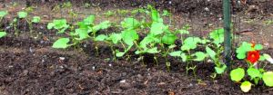 Enthusiastic Fortex pole bean seedlings. I resowed the Jade bush beans yesterday.
