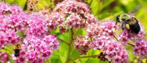 Spirea 'Magic Carpet' blooms attract a diverse array of pollinators.
