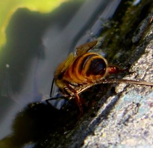 A honeybee dips its head into the murky water of my tadpole pond.