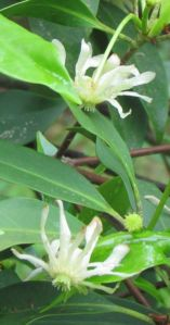 The white-blooming form of Florida Anisetree contrasts beautifully with the more common red-flowered ones.