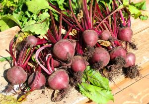 The beets were mostly able to attain a decent size.