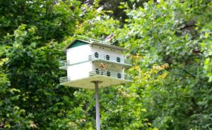 Mr. and Mrs. Bluebird raise two broods every year in this martin house. The latest batch fledged yesterday.