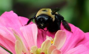 A zinnia flower gets a visit from a bumble bee.